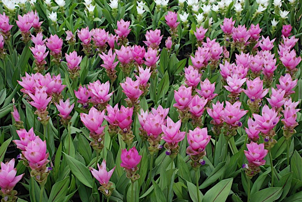 fiori della curcuma